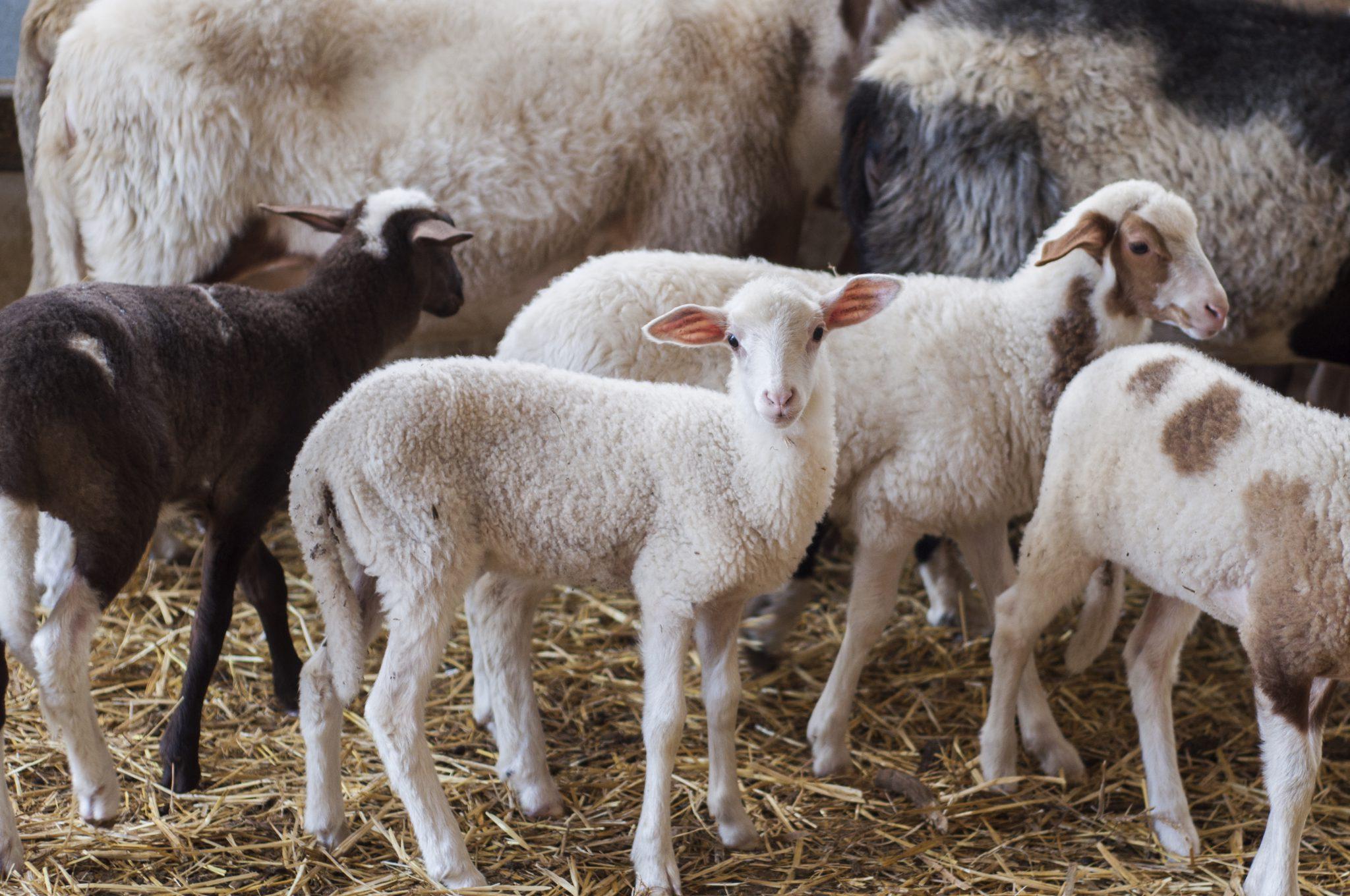 Sheep farm tours